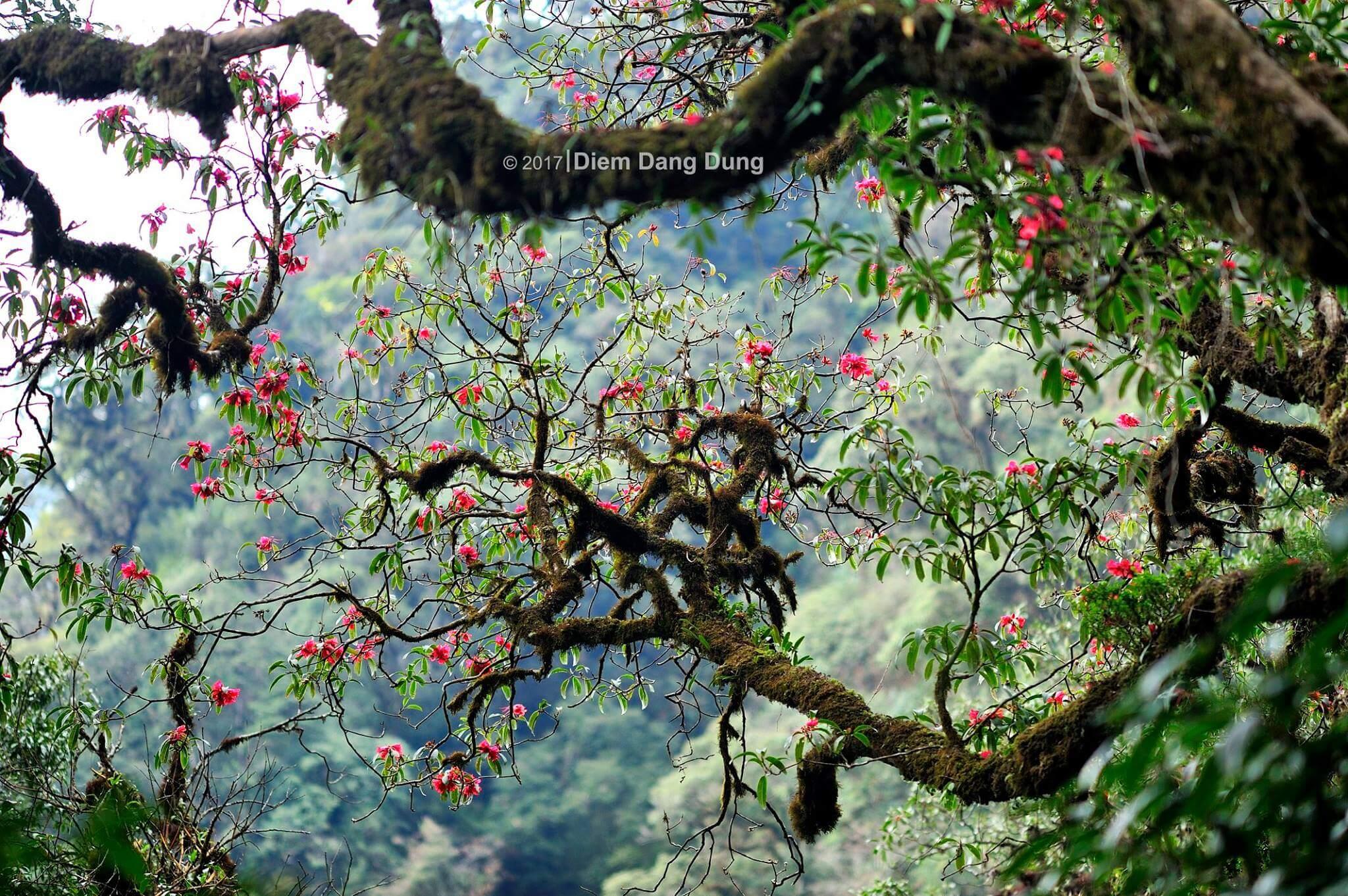 hoa đỗ quyên PuTaLeng