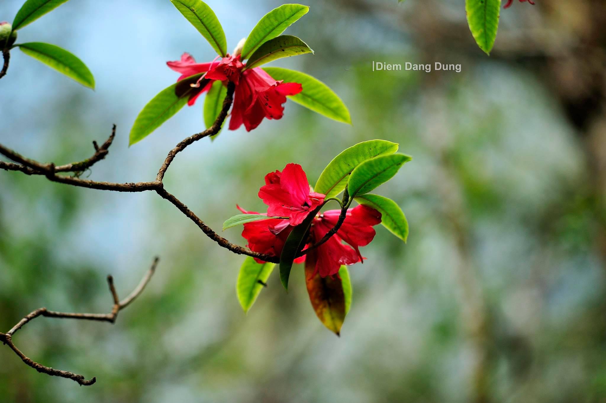 Hoa đỗ quyên Pu Ta Leng